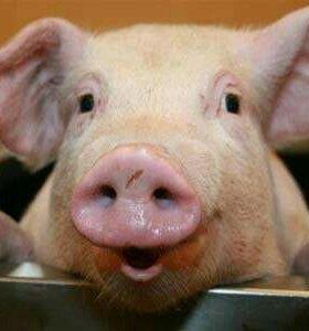 Мясо не обрезное свинины продам