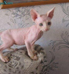 продам котят канадских сфинксов