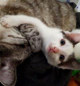 Котенок кошечка трехшерстная