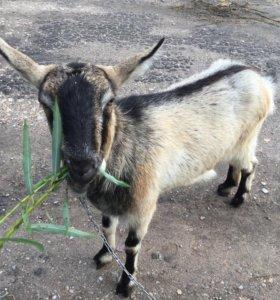Продаётся Альпийская коза, год и 5 месяцев