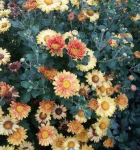 Хризантемы 8 сортов ,хосты, ирга, Войлочная вишня,