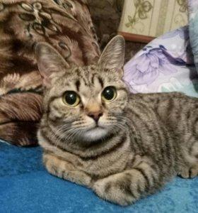 Кошечка (помесь с британской)