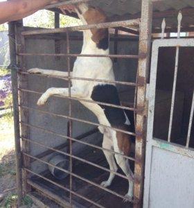 Продаётся собака русская пегая-гончая