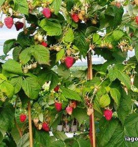 Саженцы малины, сорт Таруса.