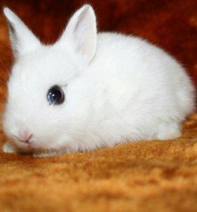 Кролик карликовый хотот