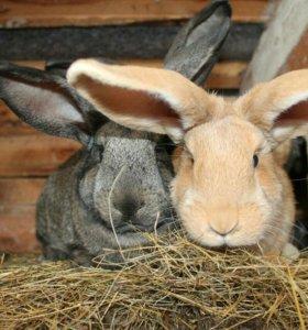Кролики великаны мясных пород, фландеры помесные