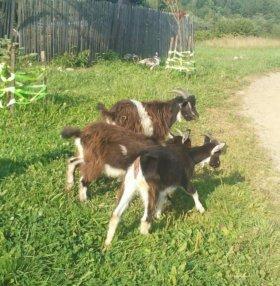 Подрощенные козлята
