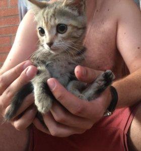 Котята от Британской кошки