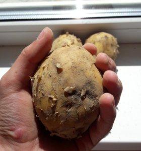 Картофель жёлтый домашний!