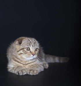 Шотландский котик ждет своих хозяев