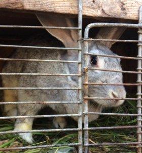 Продадим крольчиху