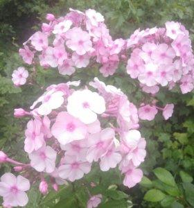 Цветы в сад.Флоксы.Роз с центром малиновым
