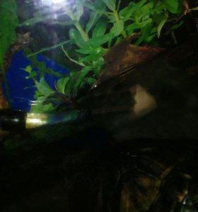 Продам двух морских черепах