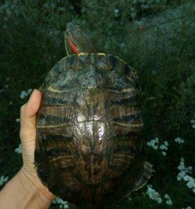 Черепаха красноухая с полным набором