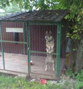 Вязка  лайка западно- сибирская.кобель 4 года.