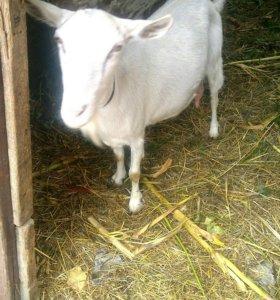Продам козу, и маленьких козлят