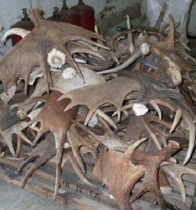 Рога лося оленя марала сайгака
