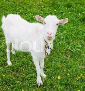 Молочные коз
