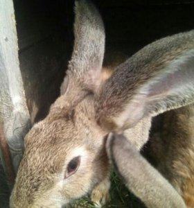 Продам 6 месячных кроликов ( фландр)