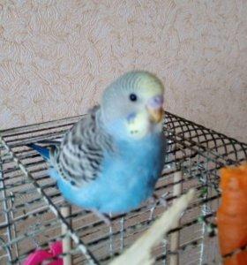 Волнистые попугаи.Молодняк