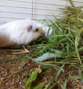 Свинюшка коронетка