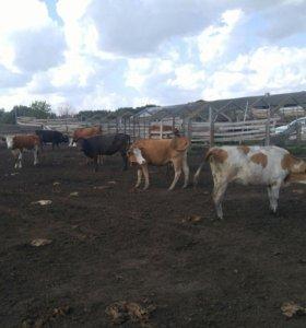 Продаю доеных коров