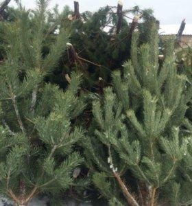 Продам новогодние ёлки, сосны от 1 до 2 м