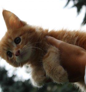 Котята породы мейн-кун с документами и родословной
