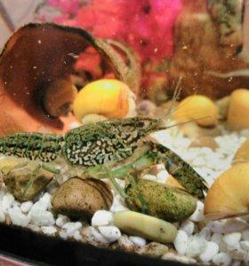 Декоративные аквариумные мраморные раки