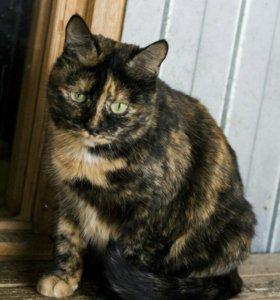 Трехцветная кошка Масяня