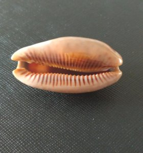 Морская раковина. Cypraea zebra