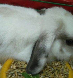 Кролик вислоухий