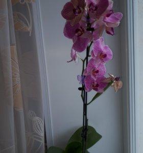 Продам орхидею Немо