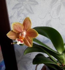 Продам орхидею Табл мастер пис