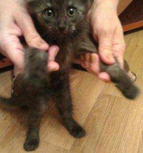Пушистый дымчатый котенок