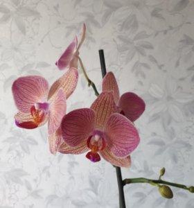 Продам орхидею