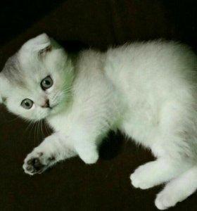 Котёнок Scottish Fold (девочка)