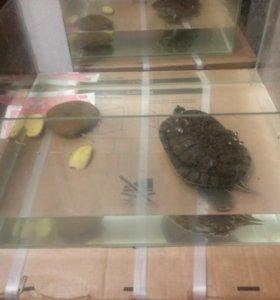 Красноухая черепаха+ Аквариум.