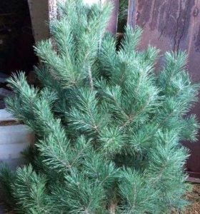 Новогодние сосны оптом, елки живые