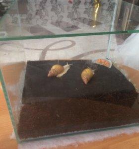 Улитки ахатина фулика родация альбино + террариум