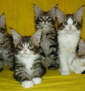 Супер котята Мейн-кун)