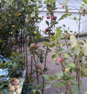 Саженцы плодовые и декоративные любые работы