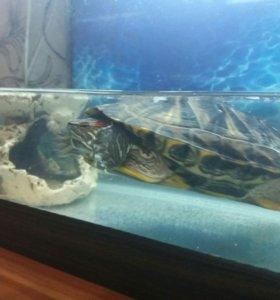 черепаха с аквариумом 60 литров