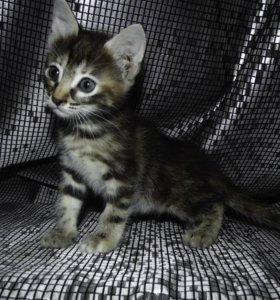 Милая сибирская кошечка
