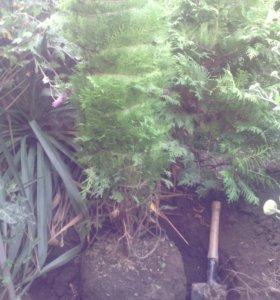 Хвойные вечнозеленые растения с доставкой