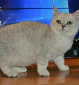 Котенок девочка в разведение 5 месяцев