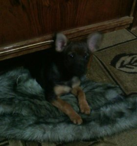 Собака мини пинчер обращятся по телефону 890308461