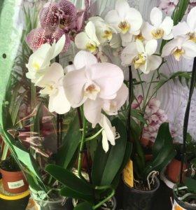 Продаются орхидеи