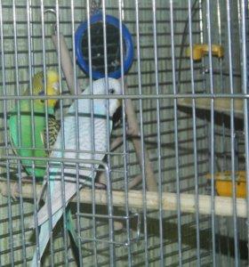 Волнистые попугайчики,возраст 6 месяцев