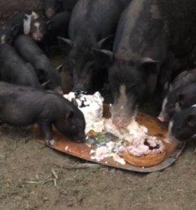 Свиньи Вьетнамские.